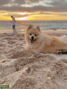 CKC pomeranian looking for a girlfriend Listing Image
