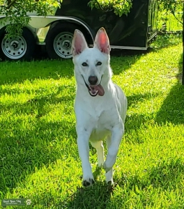White and tan German Shepherd Listing Image