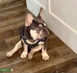 Green Eyed French Bulldog Listing Image