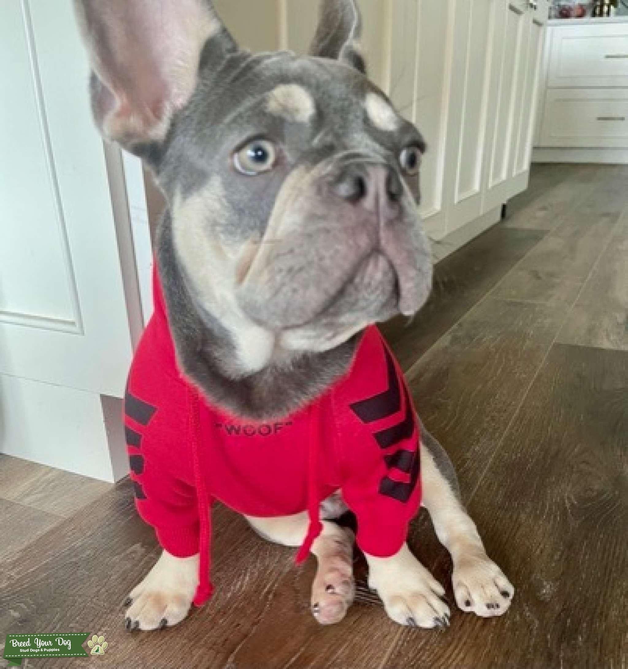 Green Eyed French Bulldog Listing Image Big