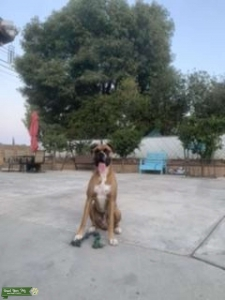 Pure breed boxer  Listing Image
