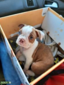 Planned Boston Terrier Litter Listing Image