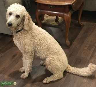 Cream Colored Standard Poodle looking for Goldendoodle mate Listing Image