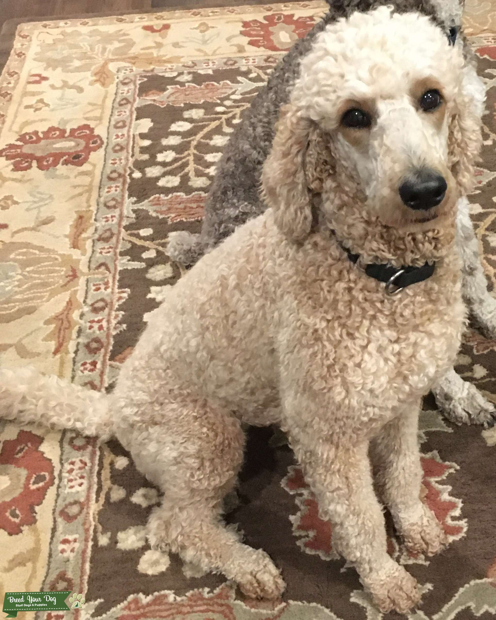 Cream Colored Standard Poodle looking for Goldendoodle mate Listing Image Big