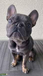 Micro Blue and Tan French Bulldog Listing Image