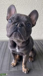 Micro Blue and Tan French Bulldog Listing Image Thumbnail