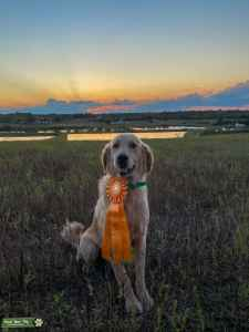 AKC Purebred and Titled Golden Listing Image